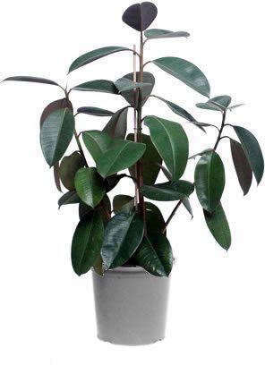 10 plante care purifica aerul din casa ta. Black Bedroom Furniture Sets. Home Design Ideas