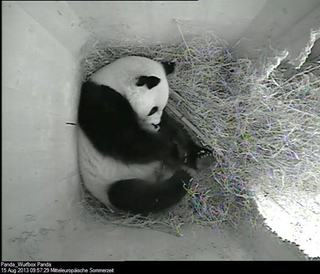 Al treilea pui de urs panda nascut la gradina zoologica din Viena