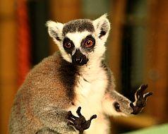 Lemurienii din Madagascar sunt animale VIP la Digital Zoo